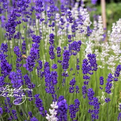 Lavender: how to grow and care?