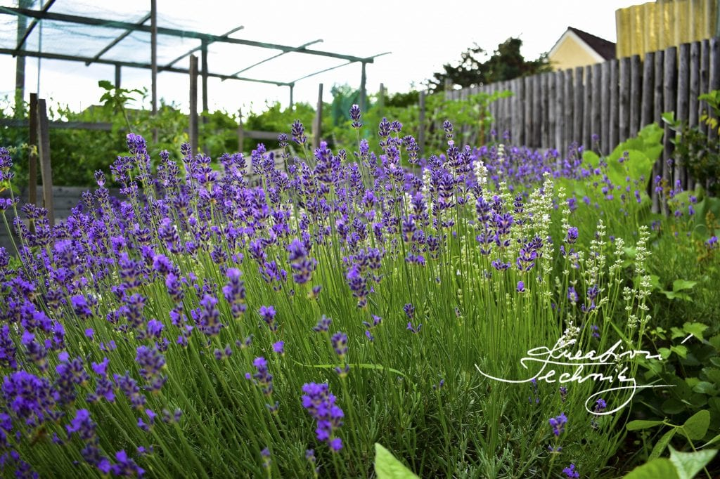 lavender plant care tips, how to grow lavender, lavender, lavender garden, lavender garden ideas, lavender plant care, how to grow lavender from cuttings, growing lavender, Growing lavender