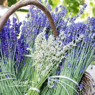 Lavender:  8 Tips for Lavender Decorations